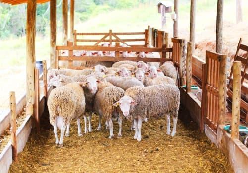 Ovelhas na Fazenda Cabanha Vida
